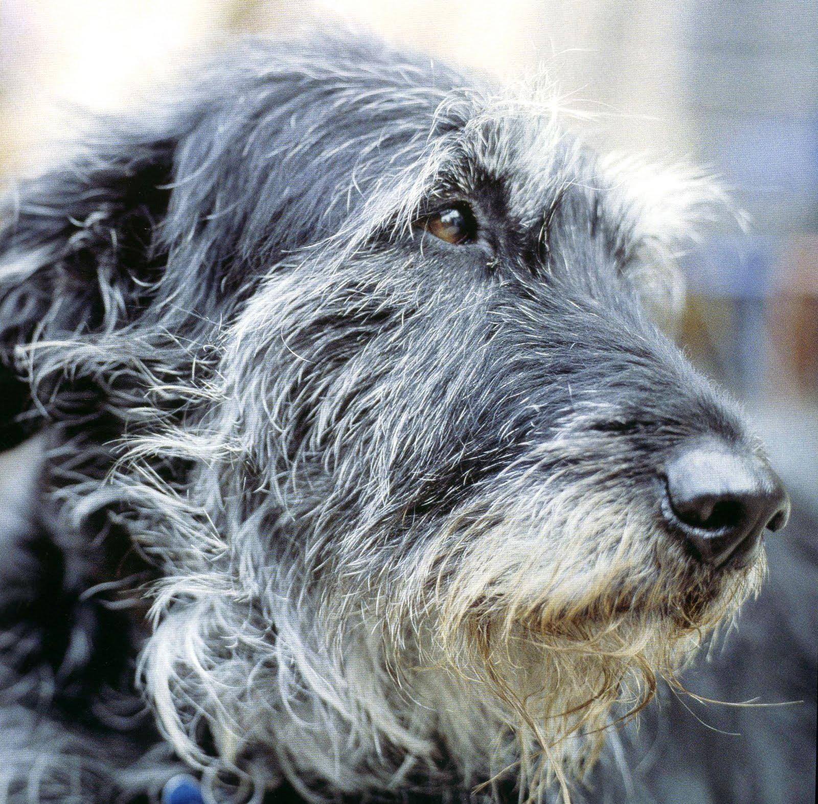 irish wolfhound click from the calendar irish wolfhound