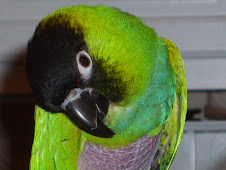 Sammy the Nanday Conure