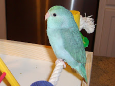 Roxy the Parrotlet