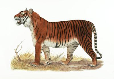 [Image: PantheraTigrisBalicaHeineman.jpg]