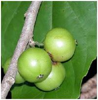 RUKEM (buah masih muda)