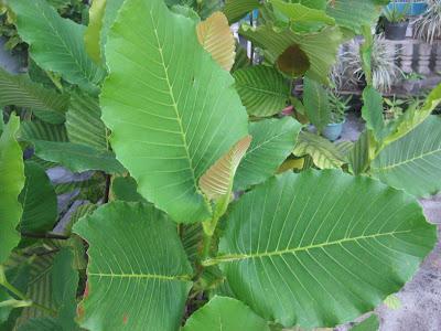 Tidak ada manfaat ekonomi lain dari tanaman ini selain diambil daunnya
