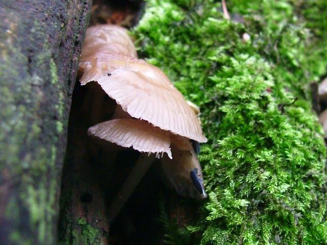 Mycena galericulata