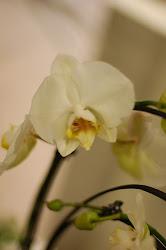 Orkideèn