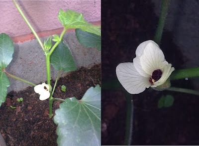 Okra Flower