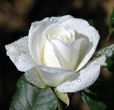 White rose flower meaning best hd wallpapers 2011 white rose flower mightylinksfo