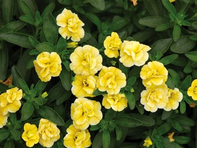 gardening in vermont perennials and annuals calibrachoa aka million bells super bells. Black Bedroom Furniture Sets. Home Design Ideas