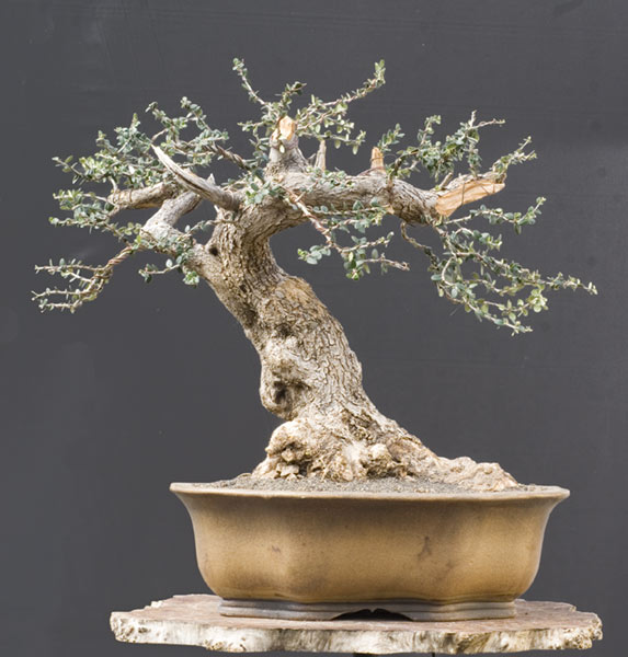 Walter pall bonsai adventures new wild olive for How to make an olive tree into a bonsai