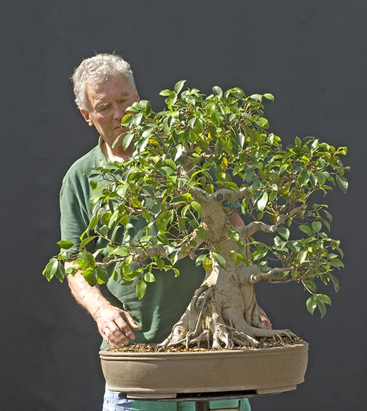 ficus benjamini bonsai bonsai ficus benjamina plants. Black Bedroom Furniture Sets. Home Design Ideas