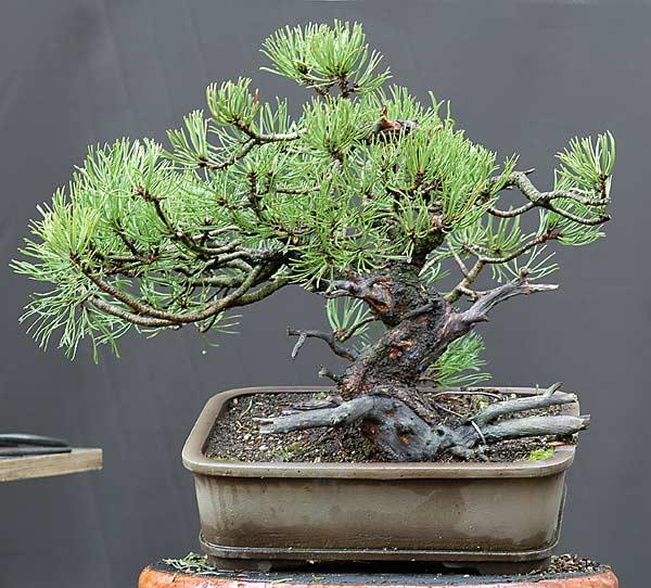 walter pall bonsai adventures mugo pine 28. Black Bedroom Furniture Sets. Home Design Ideas