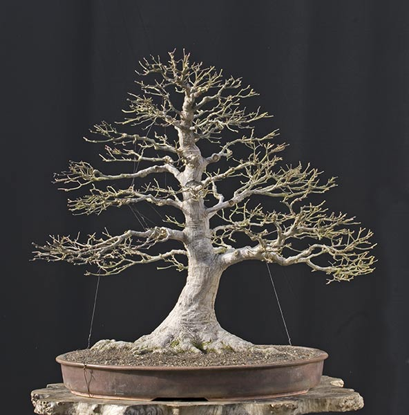 laceleaf japanese maple bonsai. red japanese maple bonsai.
