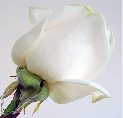 Whatever the white rose meaning, it can be assured that they will be deeply