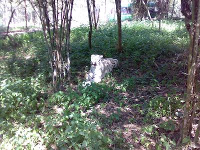 Bannerghatta White Tiger