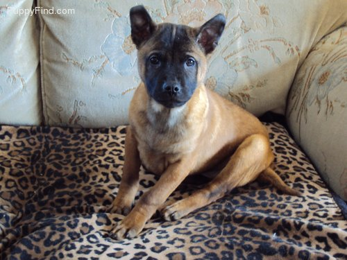 Female Thai Ridgeback Puppy