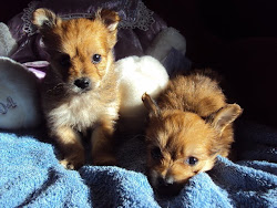 Chihuahua-poo pups look like little foxes, very small,