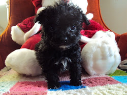 Tiny Lhasa-Poo puppy