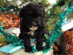 Lhasa-Poo female Puppy