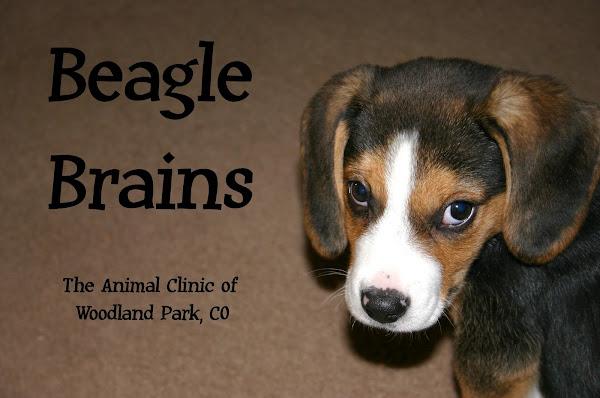 Beagle brains