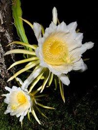 Rainha-da-noite - Hylocereus undatus