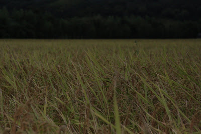 rice field Kano Yamaguchi