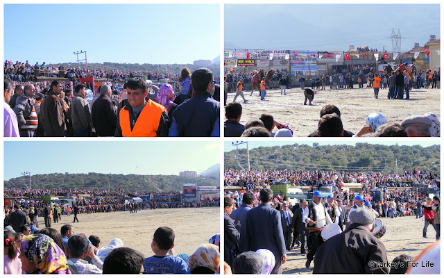 Packed Crowds For The Camel Wrestling in Fethiye