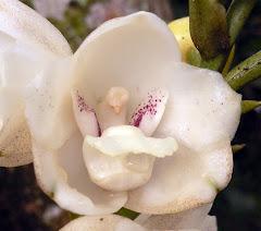 La Flor del Espiritu Santo