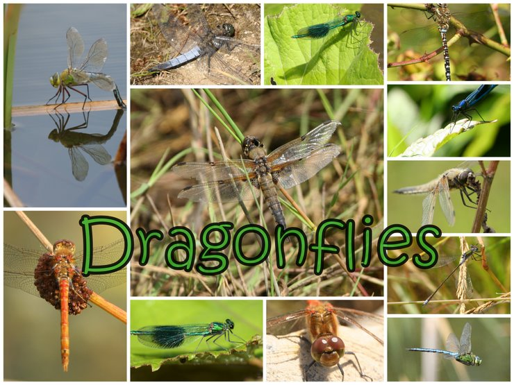 Northumbrian Birder  Dragonflies