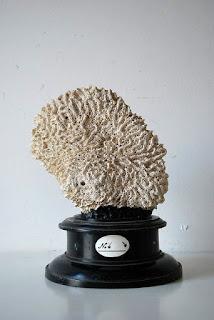 アンティークサンゴ標本