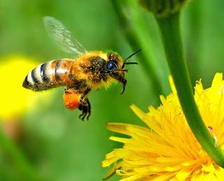 http://4.bp.blogspot.com/_jXyO7km4cuc/S1EZR0wZR8I/AAAAAAAAA5w/lg0mCzu9n20/s320/honeybee2.jpg