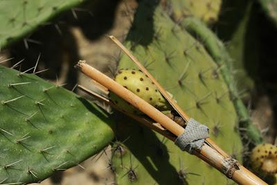 Recolección de higos chumbos
