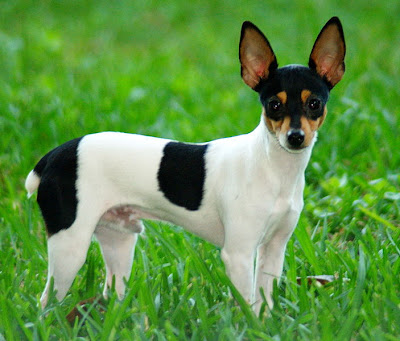 Toy Fox Terrier Dog Wallpaper