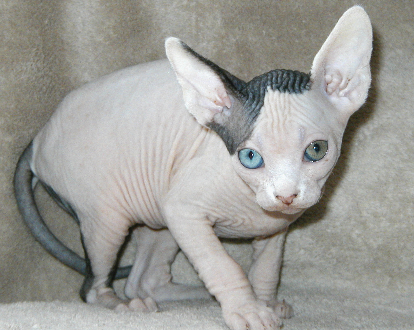 Amazing Dogs Breeds: Sphynx Cat