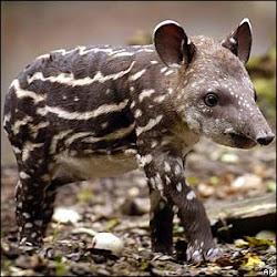 ¡¡quiero ser un tapir!!