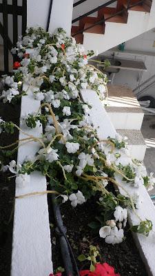 Jardinbio impatiens walleriana alegrias - Plantas para arriates ...