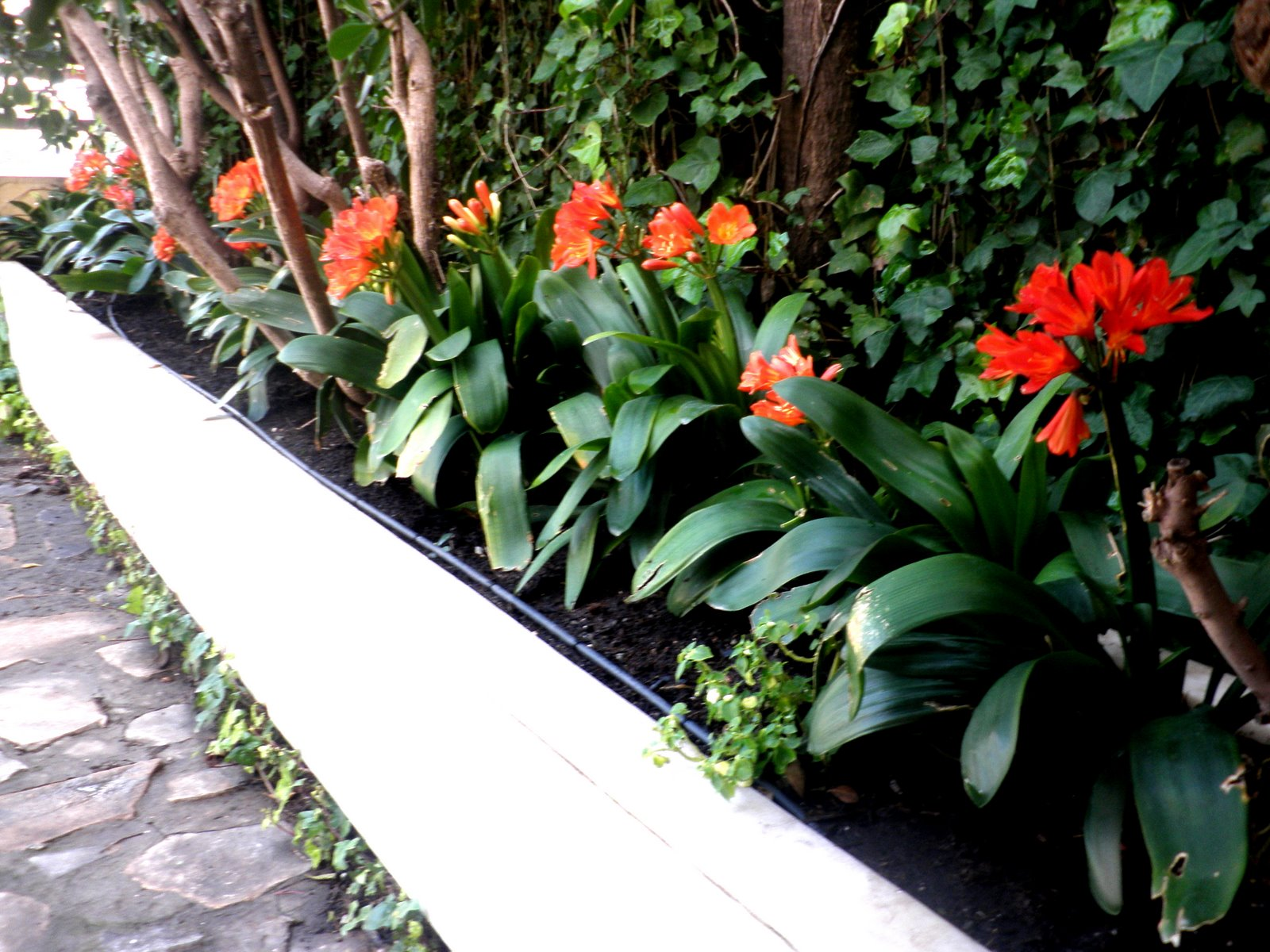 Jardinbio arriate de clivias - Arriate plantas ...