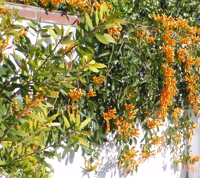 Jardinbio pyrostegia venusta for Hierba jardin