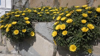 y adaptada a zonas del atlntico cdiz algarve canarias etcse adapta a jardines cerca del mar y forma macizos de flores amarillas