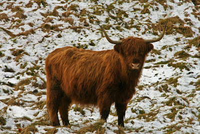 Highland Cow on the Wolds Way