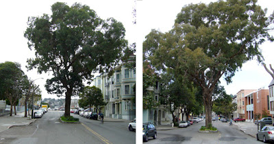 Tree on Sanchez Street, at 14th Street, in San Francisco's Duboce Triangle neighborhood.