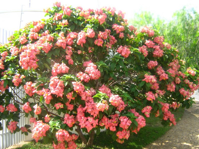 manaca de jardim em vaso : manaca de jardim em vaso:Meu cantinho verde: MUSSAENDA-ROSA – ( Mussaenda alicia )