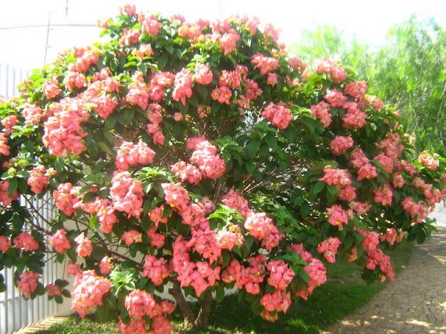 arvore manaca jardim:Meu cantinho verde: MUSSAENDA-ROSA – ( Mussaenda alicia )