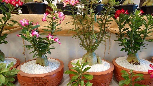 Rosa Do Deserto Adenium Obesum