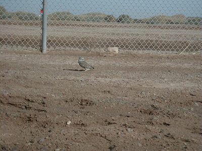 Burrowing Owl, El Centro, California