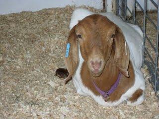 [Goat+1]