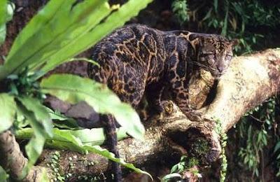 sundaland clouded leopard