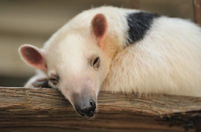 sleepy southern tamandua