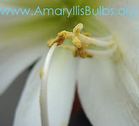 pollinating an Amaryllis flower