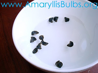germinating Amaryllis seeds in water