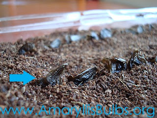 sowing amaryllis seeds close up
