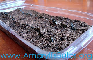 sowing Amaryllis Seeds